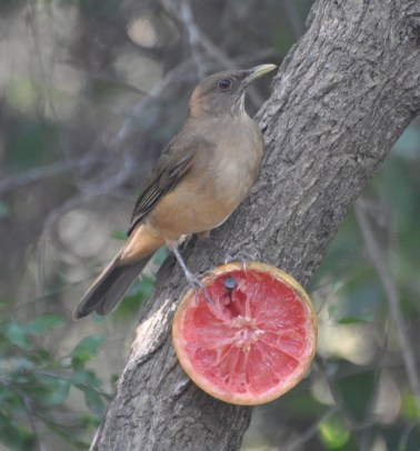 Clay-colored Thrush is a close cousin