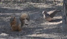 Dove and Squirrel