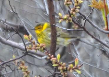 One of my favorite warblers