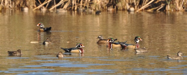 How much wood would a Wood Duck duck?