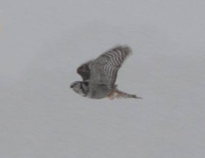 More hawk than owl