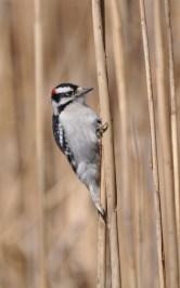 Reedpecker