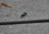 The Blue Hornet