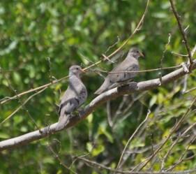 Tree-Doves