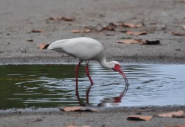 Ibis be on my way