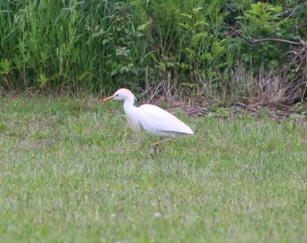 An eager egret
