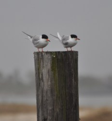 Watching the world tern
