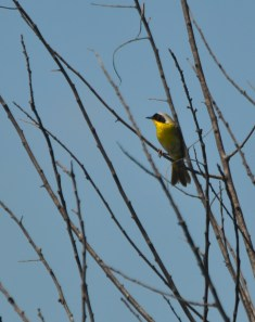 The bird with the golden throat