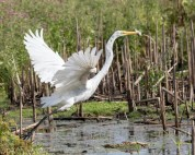 Great Egret Catching Fish - Click To Enlarge
