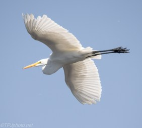 Great Egret In Flight - Click To Enlarge