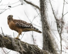 Red-shouldered Hawk, Snake - Click To Enlarge