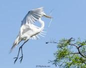 Great Egret Sets For A Landing - Click To Enlarge