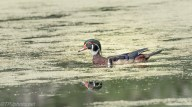 Wood Duck - Click To Enlarge