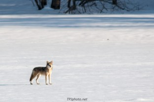 Connecticut River Coyote