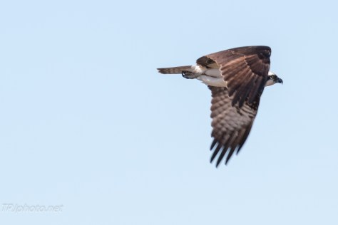 Connecticut Osprey