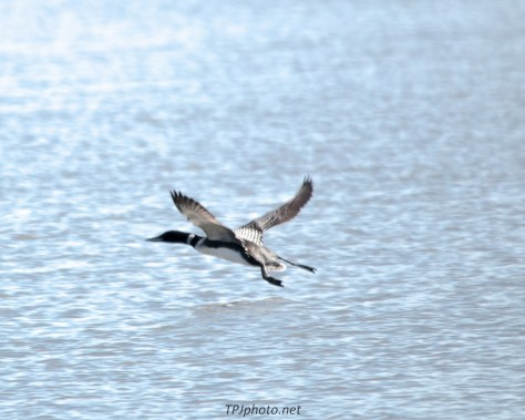 Loon Take Off