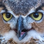 Great Horned Owl - Click To View