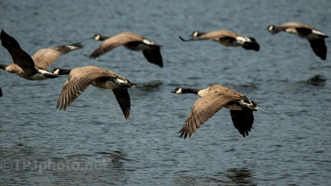Canadian Geese Fly Through - Click To Enlarge