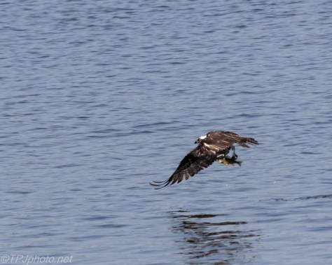 Osprey Fishing North Cove Essex CT - Click To Enlarge
