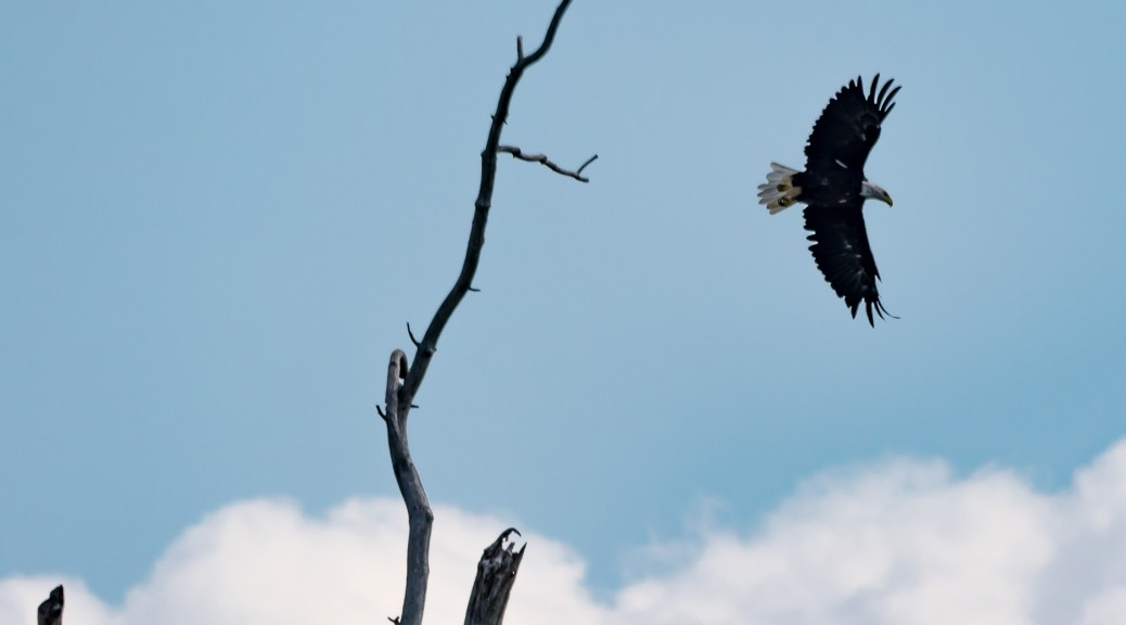 Bald Eagle Over Connecticut River _ Click To Enlarge