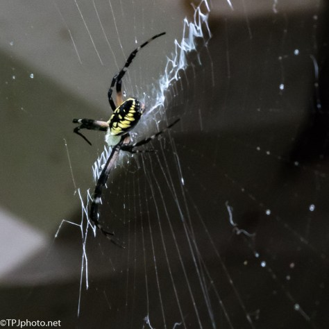 Black and Yellow Garden Spider - Click To Enlarge