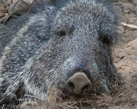 Peccary - Click To Enlarge