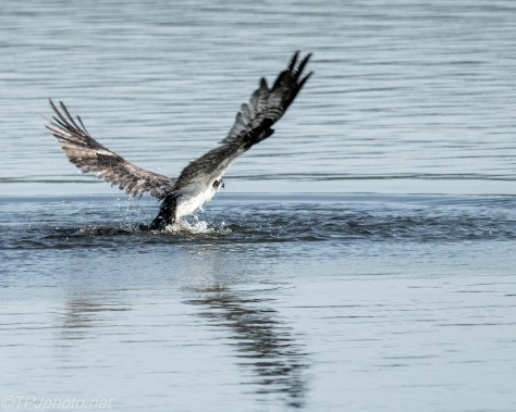Diving Osprey - Click To Enlarge