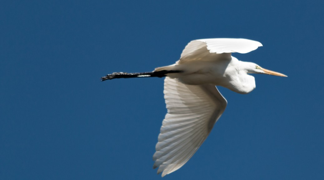 Great White Egret - Click To Enlarge