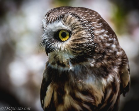 Saw Whet Owl - Click To Enlarge