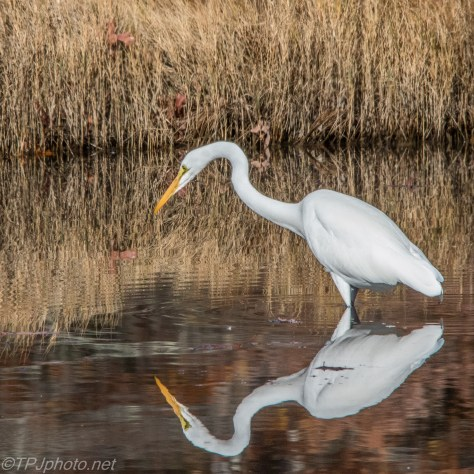 Egret Reflections - Click To Enlarge