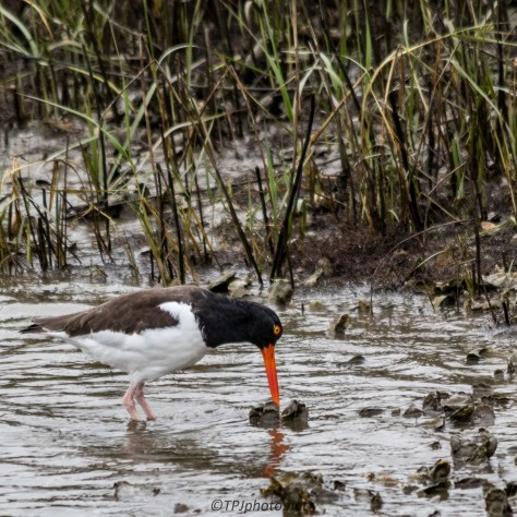 American Oystercatcher - Click To Enlarge