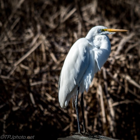White Egret - Click To Enlarge