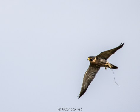 Peregrine Falcon - Click To Enlarge