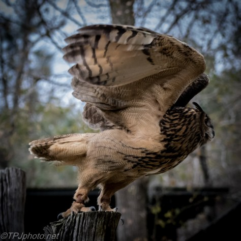 Eurasian Eagle Owl - Click To Enlarge