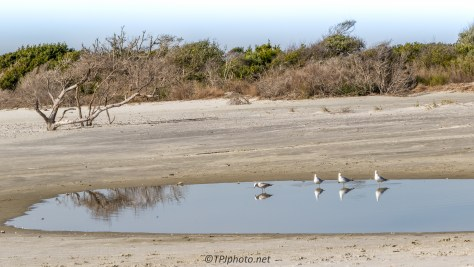 Cloning Gulls - Click To Enlarge