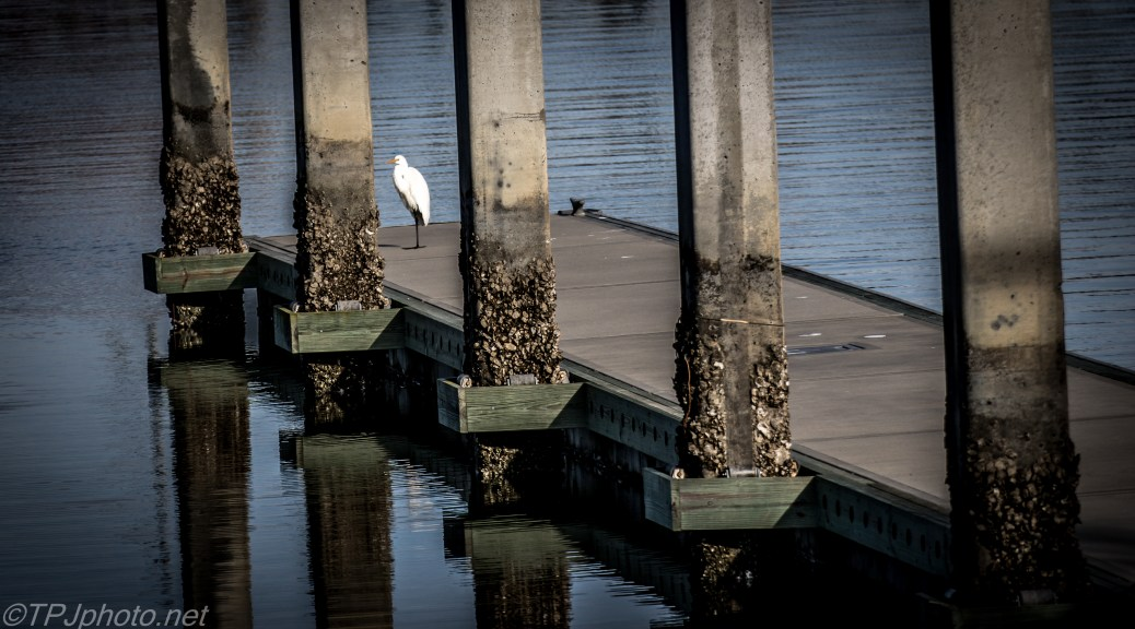 Great Egret Among The Pylons - Click To Enlarge