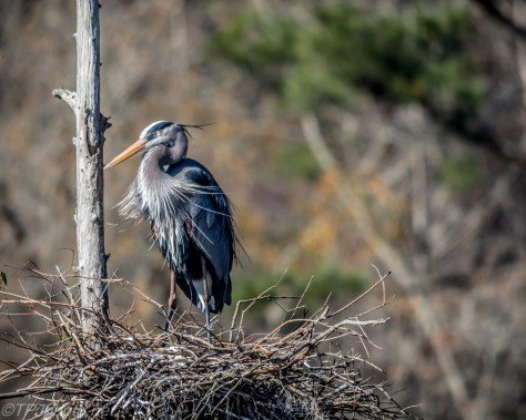 Blue Heron Rookery - Click To Enlarge
