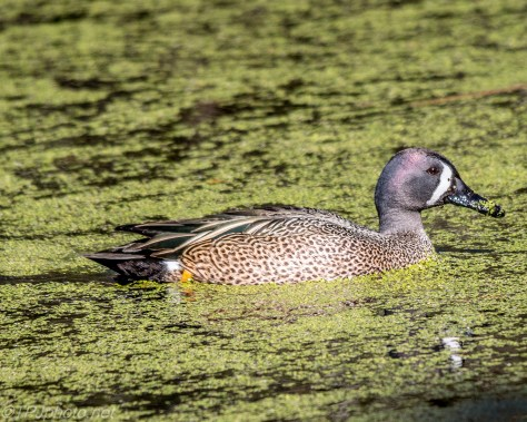 Blue Winged Teal - Click To Enlarge