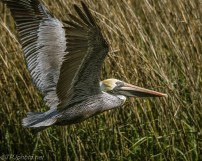 Brown Pelican In Marsh - Click To Enlarge
