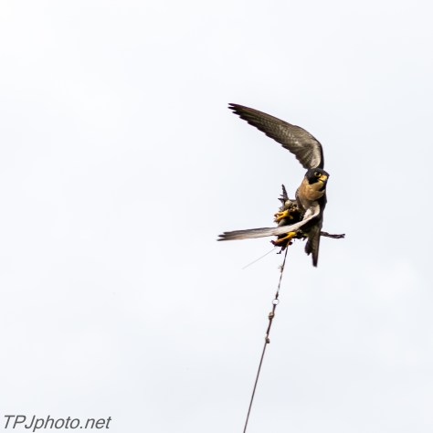 Peregrin Falcon - Click To Enlarge