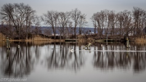 Swan Landscape - Click To Enlarge
