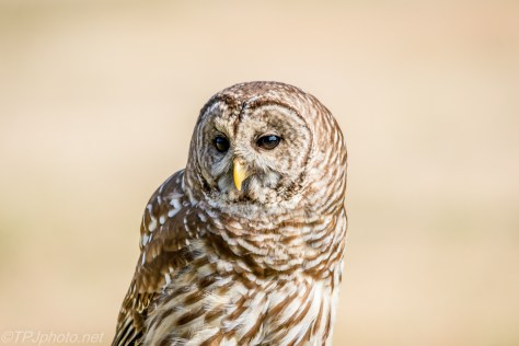 Barred Owl Head Shot - Click To Enlarge