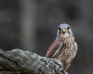 Eurasian Kestrel - Click To Enlarge