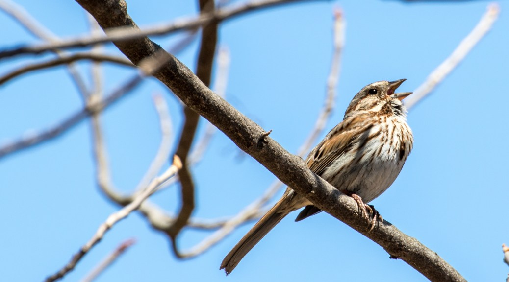 Song Sparrow - Click To Enlarge