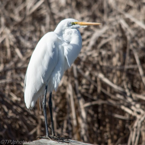 Classic Great Egret - Click To Enlarge
