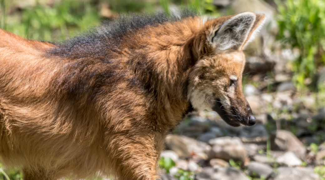 Red Maned Wolf - Click To Enlarge