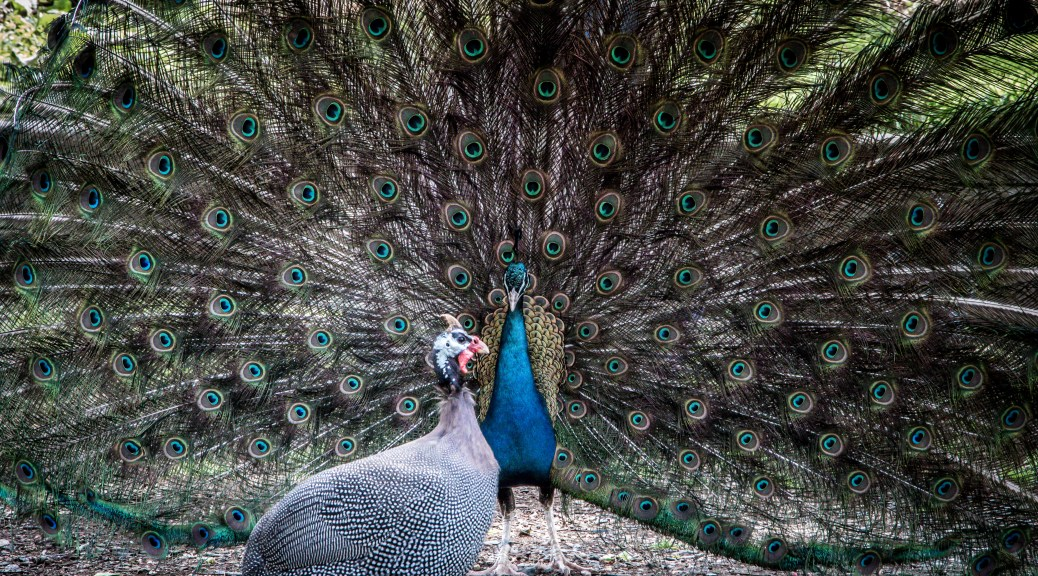 Stylized Peacock - Click To Enlarge