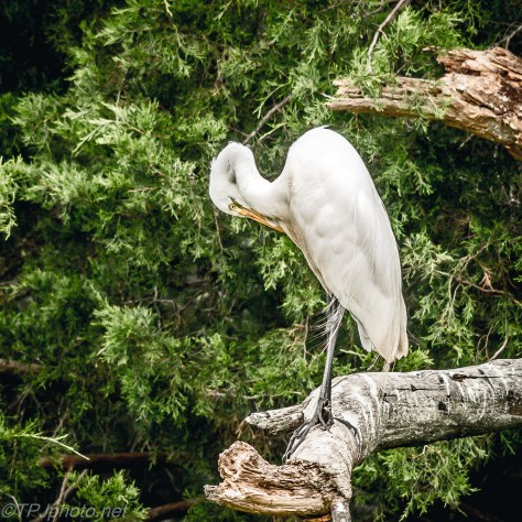 Great Egret On A Pine Island - Click To Enlarge