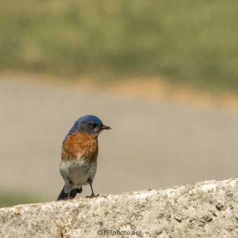 Eastern Blue Bird - Click To Enlarge