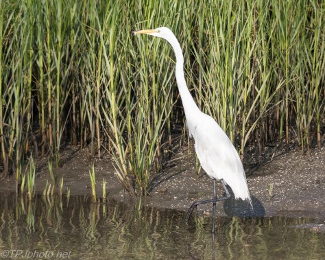 Great Egret Fishing The Reeds - Click To Enlarge